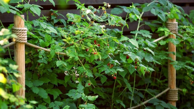 Уход за кустами малины весной и осенью