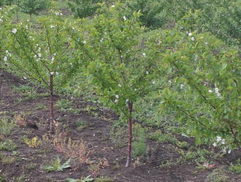 Уход за вишней после сбора урожая