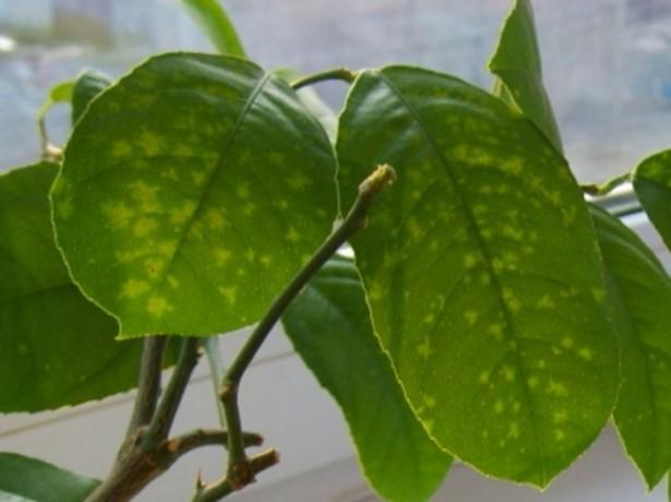 Болезни лимона домашнего причины и лечение