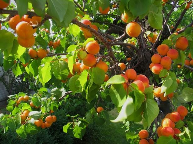 Как вырастить абрикос из косточки в домашних условиях в горшке