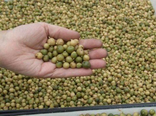 онлайн фильм по выращиванию картошки из семян очень хотел кончить