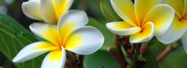 Выращивание плюмерии из семян в домашних условиях практичные советы