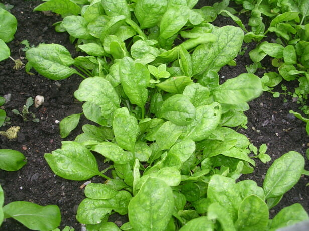 Выращивание шпината на своем огороде