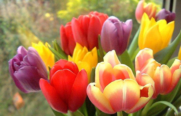 a4dfd52549e Каких цветов бывают тюльпаны — красные