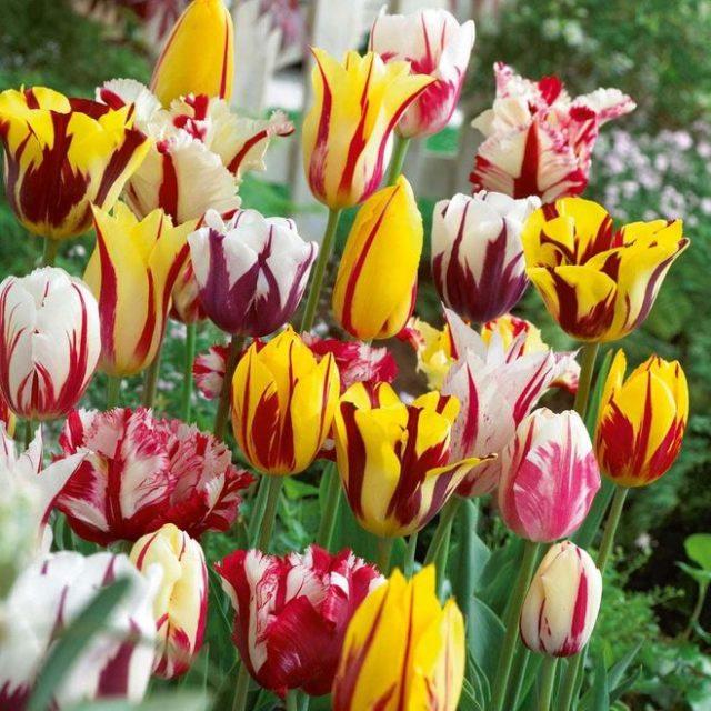 15d05dd08cb Если раньше в отечественных цветниках росли преимущественно тюльпаны  ярко-красного или алого цвета