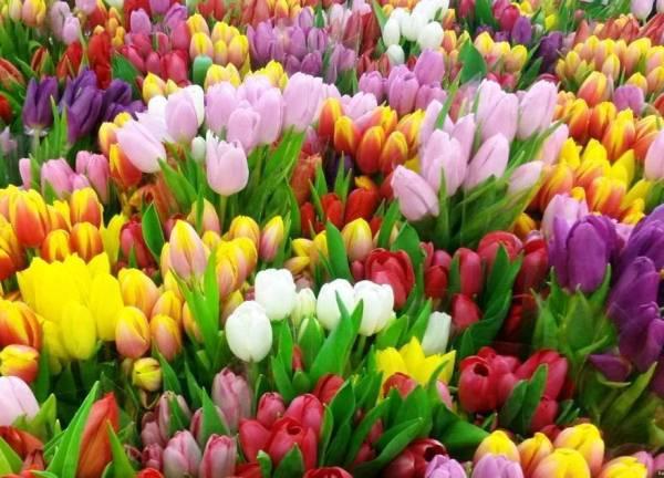 40d0fe6bda2 Тюльпан — это один самых нежных и прекрасных весенних цветов. Именно его  принято дарить женщинам на праздник 8 Марта. Но как правильно выбрать  нужный сорт и ...