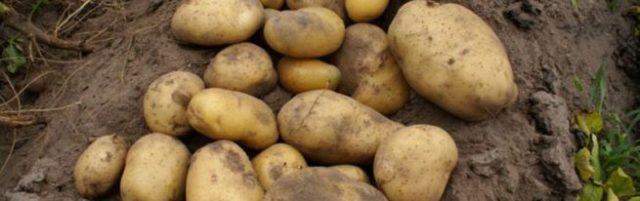 картофель велина описание сорта фото отзывы
