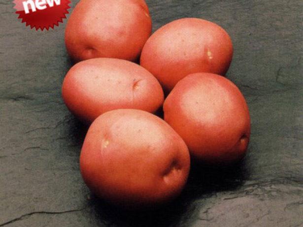 Картофель Красавчик характеристика посадка и уход