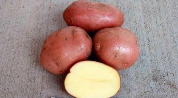 Картофель Розара: описание сорта, полноценный уход от посадки до сбора урожая 60