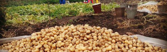 Когда можно копать картофель на хранение: время, признаки