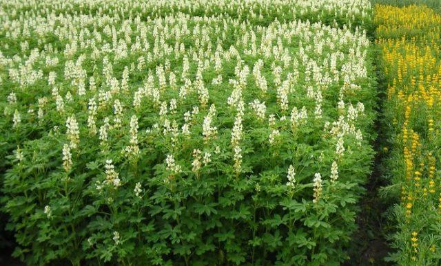 Люпин многолетний: чем полезно растение и как вырастить - Цветы