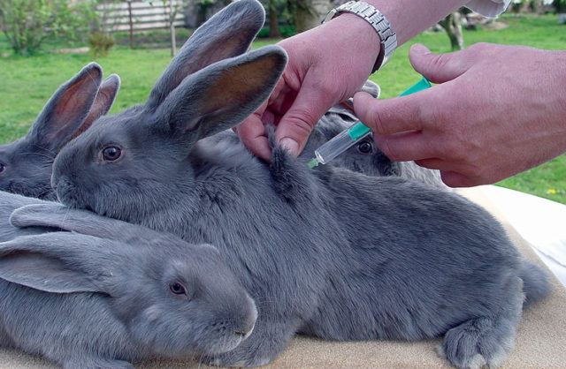 Прививки маленьким кроликам