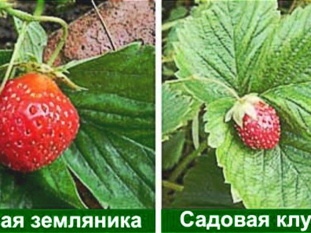 Клубника Елизавета - посадка, выращивание, уход, описание сорта   видео