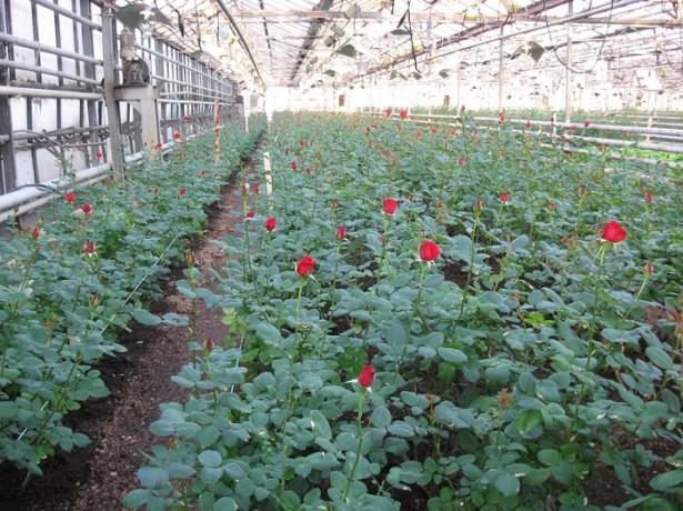Выращивание роз в теплице: видео-инструкция как выращивать своими руками, бизнес-план, технология, цена, фото