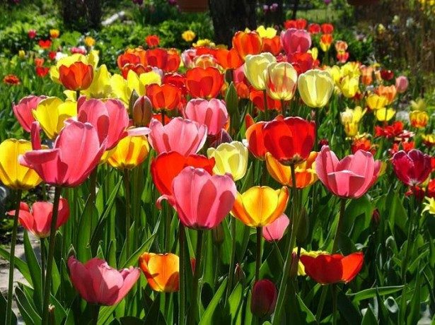 Основные приемы агротехники выращивания тюльпанов