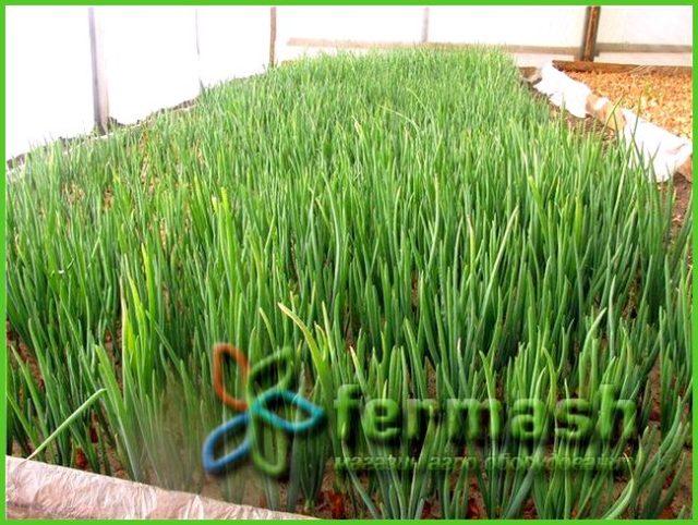 Выращивание укропа в теплице на зелень