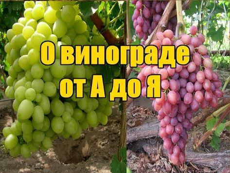 Советы по выращиванию винограда в открытом грунте
