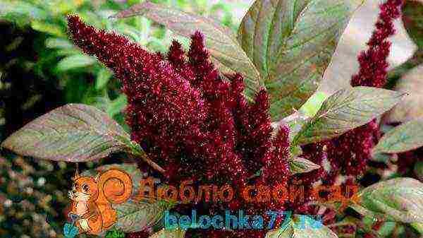 Амарант выращивание из семян когда сажать
