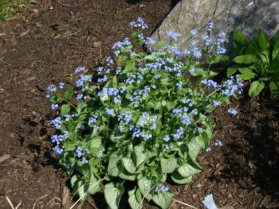 Бруннера посадка и уход выращивание из семян